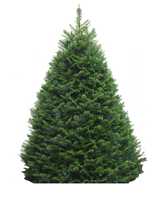 Holiday Shop :: Grand Fir Trees